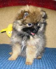 продам щенка (мальчик) МАЛОГО ШПИЦА