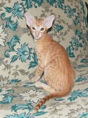 Котенок ориентальной породы,  ориентал
