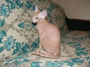 Котенок сфинкса петербургского,  петерболд