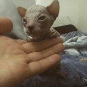 Резерв котенка Донского сфинкса
